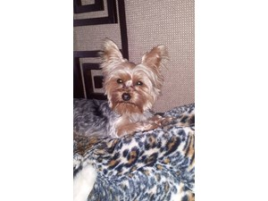 <a href='/pet-recovery/LostPetPosterOnline.aspx?lpid=39313' style='color:white; text-decoration:none;'>beto (Yorkshire Terrier)<br/>sarasota, FL</a>