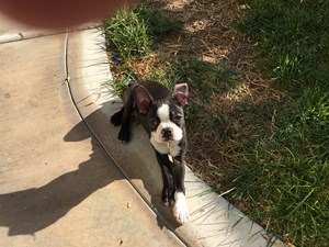 <a href='/pet-recovery/LostPetPosterOnline.aspx?lpid=39319' style='color:white; text-decoration:none;'>Captain Domino (Boston Terrier)<br/>Las Vegas, NV</a>