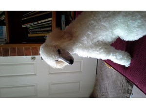 <a href='/pet-recovery/LostPetPosterOnline.aspx?lpid=39334' style='color:white; text-decoration:none;'>Pickwick (Miniature Poodle)<br/>Spring, TX</a>