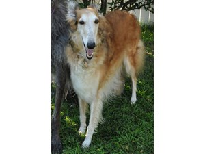 <a href='/pet-recovery/LostPetPosterOnline.aspx?lpid=39336' style='color:white; text-decoration:none;'>Casey (Borzoi)<br/>Clifton Park, NY</a>