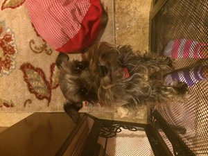<a href='/pet-recovery/LostPetPosterOnline.aspx?lpid=39338' style='color:white; text-decoration:none;'>Vayln (Miniature Schnauzer)<br/>Friendswood, TX</a>