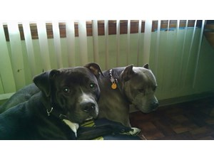<a href='/pet-recovery/LostPetPosterOnline.aspx?lpid=39339' style='color:white; text-decoration:none;'>rocky (Pit Bull)<br/>chicago, IL</a>