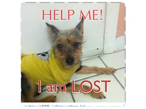 <a href='/pet-recovery/LostPetPosterOnline.aspx?lpid=39887' style='color:white; text-decoration:none;'>Nikko (Biewer Yorkie / Chihuahua)<br/>Elizabeth, NJ</a>