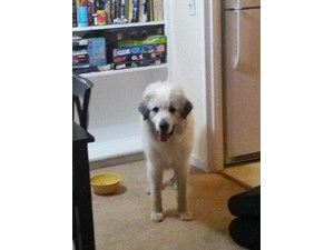 <a href='/pet-recovery/FoundPetPoster.aspx?sighting=21432' style='color:white; text-decoration:none;'>great Pyrenees (dog)<br/>North Augusta, SC</a>