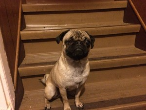 <a href='/pet-recovery/FoundPetPoster.aspx?sighting=21434' style='color:white; text-decoration:none;'>Pug (Dog)<br/>Pleasant valley, IA</a>