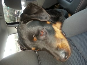 <a href='/pet-recovery/FoundPetPoster.aspx?sighting=21446' style='color:white; text-decoration:none;'>Rottweiler (dog)<br/>Alice, TX</a>