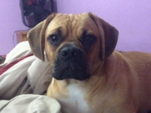 <a href='/pet-recovery/LostPetPosterOnline.aspx?lpid=39921' style='color:white; text-decoration:none;'>Benjamin (Puggle)<br/>San Antonio, TX</a>