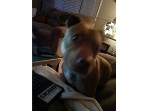 <a href='/pet-recovery/FoundPetPoster.aspx?sighting=21455' style='color:white; text-decoration:none;'>Pit bull (Dog)<br/>Kettering, OH</a>