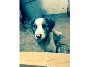 <a href='/pet-recovery/FoundPetPoster.aspx?sighting=21457' style='color:white; text-decoration:none;'>Australia shep mix (Dog)<br/>Mebane, NC</a>
