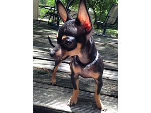 <a href='/pet-recovery/LostPetPosterOnline.aspx?lpid=39932' style='color:white; text-decoration:none;'>Shakespeare (Chihuahua)<br/>Houston, TX</a>