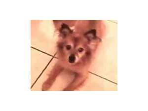 <a href='/pet-recovery/LostPetPosterOnline.aspx?lpid=39935' style='color:white; text-decoration:none;'>SAMBO (Pomeranian)<br/>HiAleah, FL</a>