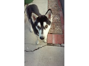 <a href='/pet-recovery/FoundPetPoster.aspx?sighting=21470' style='color:white; text-decoration:none;'>Husky (dog)<br/>Granada Hills, CA</a>