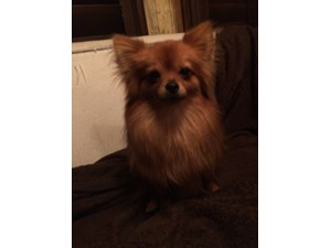 <a href='/pet-recovery/LostPetPosterOnline.aspx?lpid=39981' style='color:white; text-decoration:none;'>ELLA (Pomeranian)<br/>mckinney, TX</a>