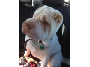 <a href='/pet-recovery/LostPetPosterOnline.aspx?lpid=39999' style='color:white; text-decoration:none;'>Light (Shar Pei)<br/>san clemente, CA</a>