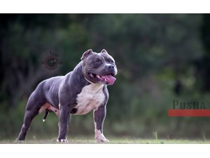 <a href='/pet-recovery/LostPetPosterOnline.aspx?lpid=40014' style='color:white; text-decoration:none;'>pusha (American Pit Bull Terrier)<br/>new Orleans, LA</a>