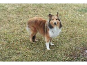 <a href='/pet-recovery/FoundPetPoster.aspx?sighting=21523' style='color:white; text-decoration:none;'>Sheltie (Dog)<br/>Lansing, MI</a>