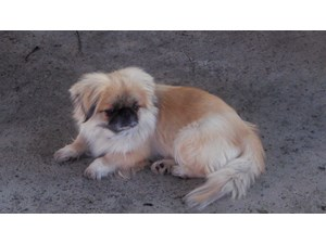 <a href='/pet-recovery/LostPetPosterOnline.aspx?lpid=40029' style='color:white; text-decoration:none;'>Abbie (Pekingese)<br/>reseda, CA</a>