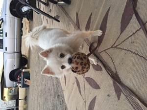 <a href='/pet-recovery/FoundPetPoster.aspx?sighting=22102' style='color:white; text-decoration:none;'>Mini American eskimo/spitz/pomeranian (Dog)<br/>Glamis, CA</a>