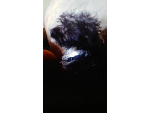 <a href='/pet-recovery/LostPetPosterOnline.aspx?lpid=41276' style='color:white; text-decoration:none;'>Feedalino (Affenpinscher)<br/>Portland, OR</a>