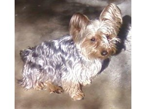<a href='/pet-recovery/LostPetPosterOnline.aspx?lpid=41330' style='color:white; text-decoration:none;'>Lea (Silky Terrier)<br/>Henderson, NV</a>