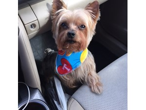 <a href='/pet-recovery/LostPetPosterOnline.aspx?lpid=41334' style='color:white; text-decoration:none;'>Dunker (Yorkshire Terrier)<br/>San Antonio, TX</a>