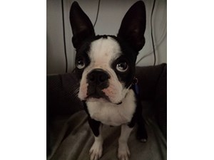 <a href='/pet-recovery/LostPetPosterOnline.aspx?lpid=41352' style='color:white; text-decoration:none;'>Beansprout (Boston Terrier)<br/>San Gabriel, CA</a>