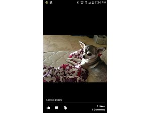 <a href='/pet-recovery/LostPetPosterOnline.aspx?lpid=41392' style='color:white; text-decoration:none;'>puppy (Chihuahua)<br/>Glendale, AZ</a>