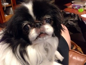 <a href='/pet-recovery/LostPetPosterOnline.aspx?lpid=41397' style='color:white; text-decoration:none;'>Sunshine (Japanese Chin)<br/>Houston, TX</a>