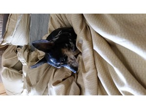 <a href='/pet-recovery/FoundPetPoster.aspx?sighting=22194' style='color:white; text-decoration:none;'>Chihuahua or mix (dog)<br/>Sunise, FL</a>