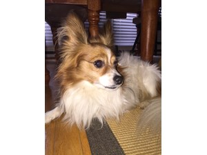 <a href='/pet-recovery/FoundPetPoster.aspx?sighting=22198' style='color:white; text-decoration:none;'>Pomeranian (dog)<br/>canton, GA</a>