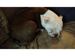 <a href='/pet-recovery/FoundPetPoster.aspx?sighting=22202' style='color:white; text-decoration:none;'>Boston Terrier Mix (Dog)<br/>Kernersville, NC</a>
