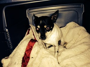 <a href='/pet-recovery/FoundPetPoster.aspx?sighting=22235' style='color:white; text-decoration:none;'>Toy Fox Terrier (dog)<br/>Avon Park, FL</a>
