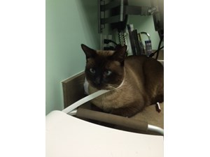 <a href='/pet-recovery/LostPetPosterOnline.aspx?lpid=41456' style='color:white; text-decoration:none;'>Benny (Siamese)<br/>Katy, TX</a>