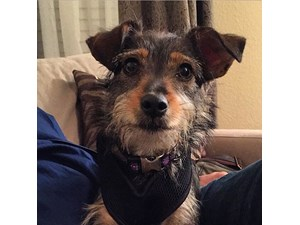 <a href='/pet-recovery/FoundPetPoster.aspx?sighting=22236' style='color:white; text-decoration:none;'>Terrier mix (Dog)<br/>Allen, TX</a>