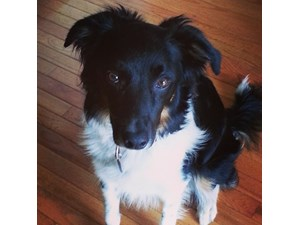 <a href='/pet-recovery/LostPetPosterOnline.aspx?lpid=41458' style='color:white; text-decoration:none;'>Grace (Border Collie)<br/>Rockville, IN</a>