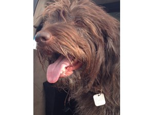 <a href='/pet-recovery/LostPetPosterOnline.aspx?lpid=41460' style='color:white; text-decoration:none;'>Luna (Wire Haired Pointing Griffon)<br/>las vegas, NV</a>