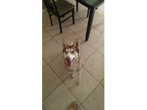 <a href='/pet-recovery/FoundPetPoster.aspx?sighting=22241' style='color:white; text-decoration:none;'>Siberian Husky (Dog)<br/>las vegas, NV</a>