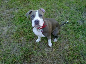 <a href='/pet-recovery/LostPetPosterOnline.aspx?lpid=41464' style='color:white; text-decoration:none;'>marlo (American Pit Bull Terrier)<br/>orlando, FL</a>