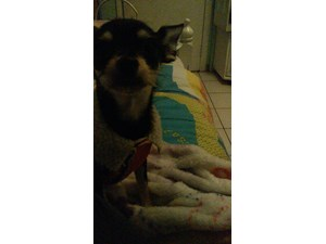 <a href='/pet-recovery/LostPetPosterOnline.aspx?lpid=41472' style='color:white; text-decoration:none;'>luna (Chihuahua)<br/>pacoima, CA</a>