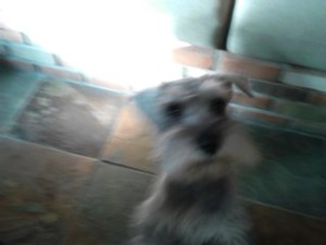 <a href='/pet-recovery/LostPetPosterOnline.aspx?lpid=41496' style='color:white; text-decoration:none;'>Maxwell Neilly Boyle (mini schnauzer)<br/>Phoenix, AZ</a>