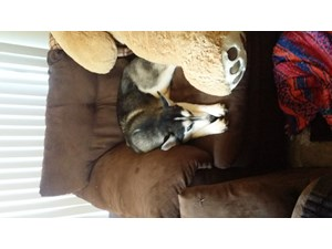 <a href='/pet-recovery/LostPetPosterOnline.aspx?lpid=41500' style='color:white; text-decoration:none;'>Master Chief (Siberian Husky)<br/>Norfolk, VA</a>
