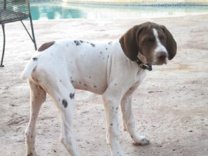 <a href='/pet-recovery/FoundPetPoster.aspx?sighting=22272' style='color:white; text-decoration:none;'> (Dog)<br/>Buda, TX</a>