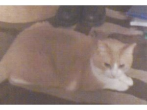 <a href='/pet-recovery/LostPetPosterOnline.aspx?lpid=41512' style='color:white; text-decoration:none;'>CHARLIE (American Shorthair)<br/>Boerne, TX</a>