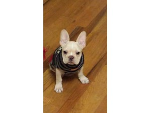 <a href='/pet-recovery/LostPetPosterOnline.aspx?lpid=41519' style='color:white; text-decoration:none;'>Bob Dylan (French Bulldog)<br/>VALLEJO, CA</a>