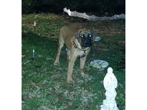 <a href='/pet-recovery/LostPetPosterOnline.aspx?lpid=41518' style='color:white; text-decoration:none;'>Diesel Soot Robertson (English Mastiff)<br/>piedmont, SC</a>