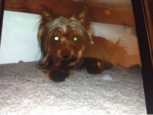 <a href='/pet-recovery/LostPetPosterOnline.aspx?lpid=41520' style='color:white; text-decoration:none;'>Scout (Yorkshire Terrier)<br/>Snellville, GA</a>