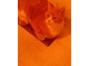 <a href='/pet-recovery/FoundPetPoster.aspx?sighting=22288' style='color:white; text-decoration:none;'>tabby cat (orange/white ma)<br/>Overland Park, KS</a>