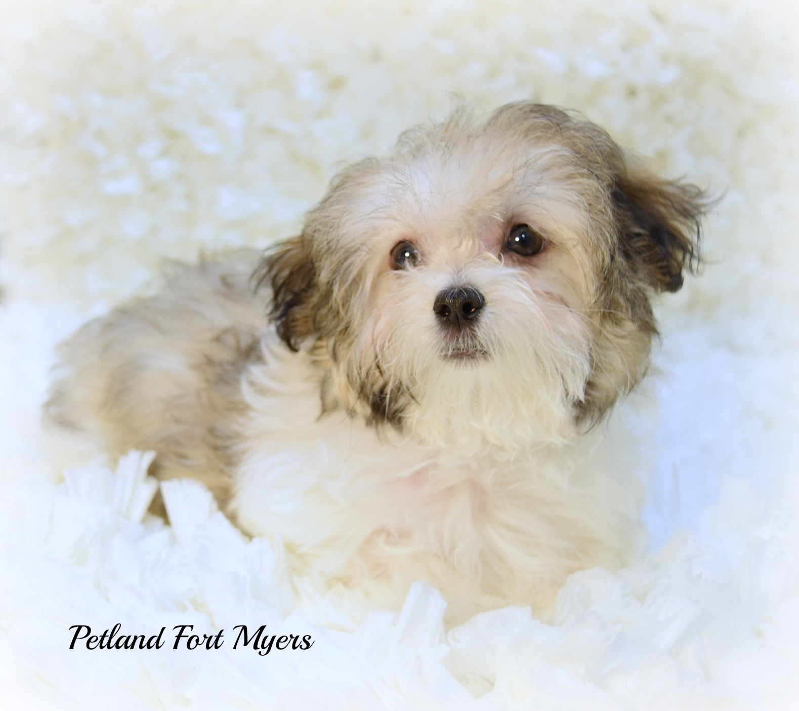 Petland puppies for sale san antonio