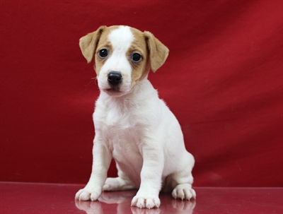 Female Jack Russell Terrier