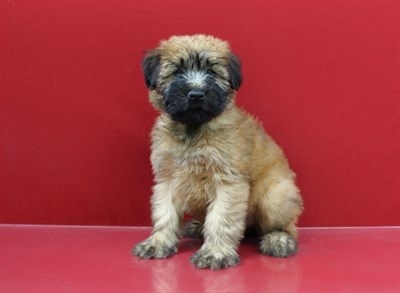 Female Soft Coated Wheaten Terrier